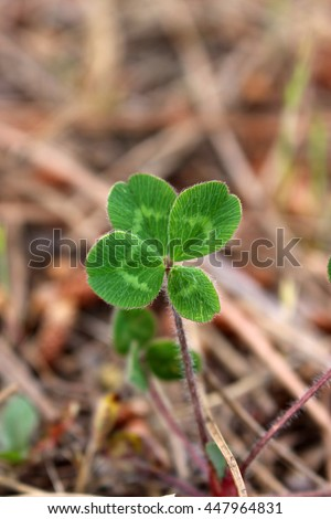 Four-leafed clover in the field, close up