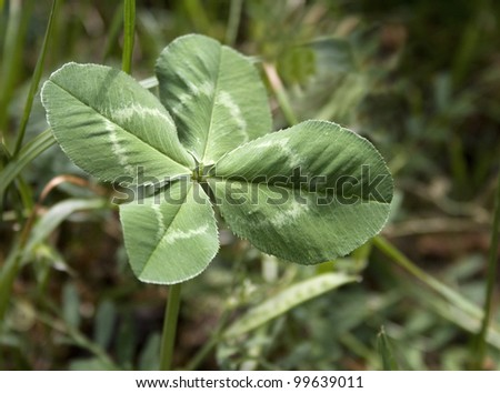 four-leaved clover - stock photo