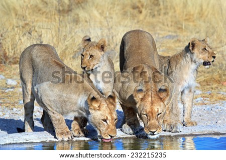 Four Lions drinking from a waterhole in Ongava private reserve - stock photo