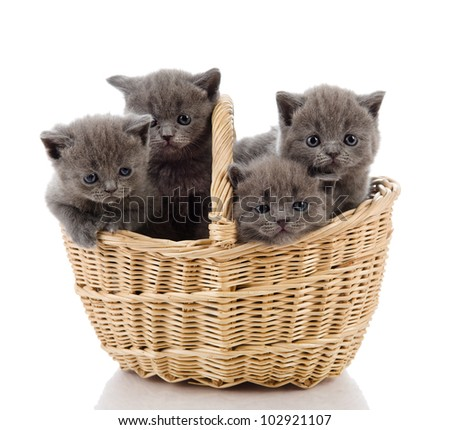 four little british kittens cat sitting in basket. isolated on white background