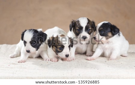 Four little Papillon puppy on a beige background - stock photo