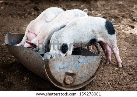 Four little pigs eat in the barn - stock photo