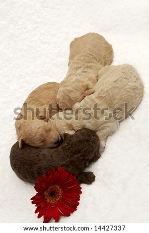 Four little puppies sleeping close together - stock photo