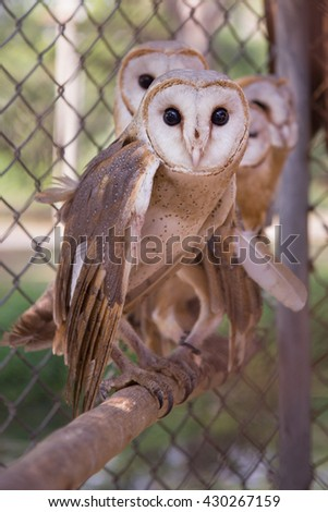 Four Long Eared Owls in a row - stock photo
