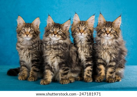 Four Maine Coon kittens sitting in a row on bright blue background  - stock photo