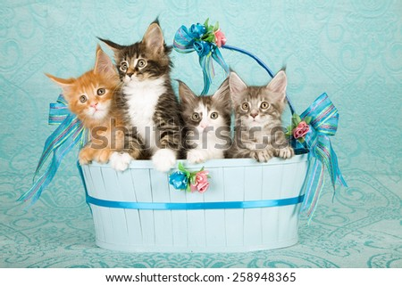 Four Maine Coon kittens sitting inside large oval blue basket on blue background  - stock photo