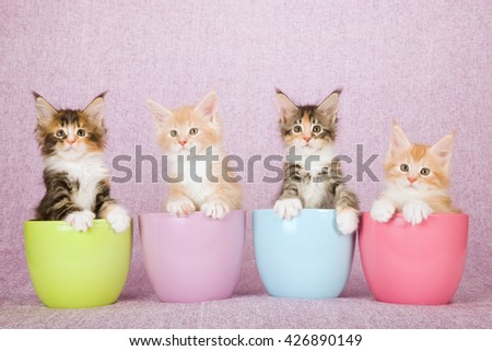 Four Maine Coon kittens sitting inside pastel coloured pots containers vases on pink lilac background  - stock photo