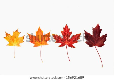 Four maple leaves arranged in a row - stock photo