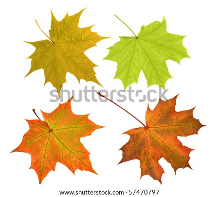 four maple leaves isolated on white background - stock photo