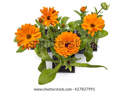Four marigold flowers, Calendula Officinalis, with leaves in flowerpot isolated on white - stock photo