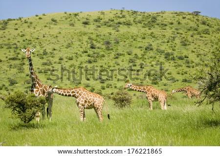 Four Masai Giraffe in the green grass at the Lewa Wildlife Conservancy, North Kenya, Africa - stock photo
