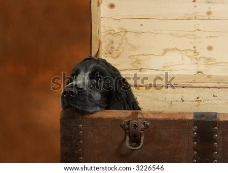 Four month old cocker spaniel puppy dog in a large wooden chest - stock photo