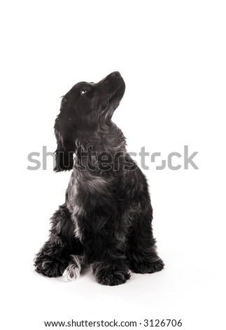 Four month old cocker spaniel puppy dog looking up, against a white background - stock photo