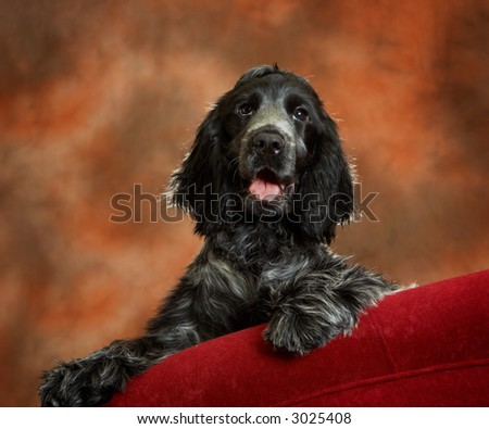 Four month old cocker spaniel puppy dog on a red couch - stock photo