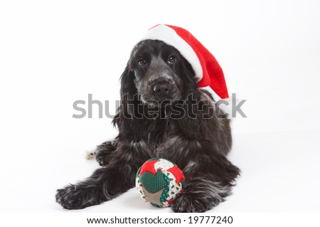 Four month old cocker spaniel puppy dog wearing a christmas hat - stock photo