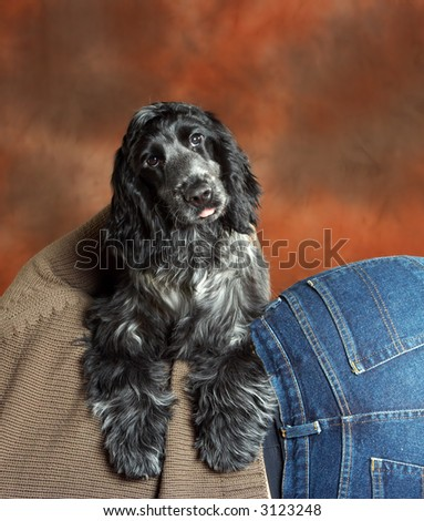 Four month old cute cocker spaniel puppy dog leaning on his boss's back - stock photo