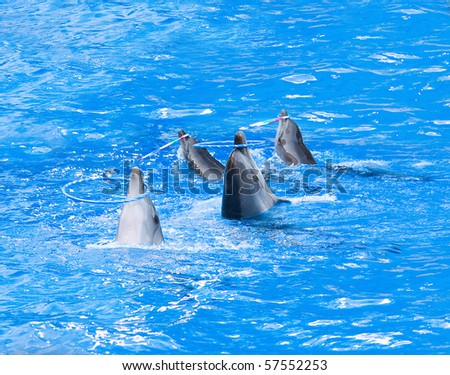 Four nice performing dolphins playing with hoops in blue water - stock photo