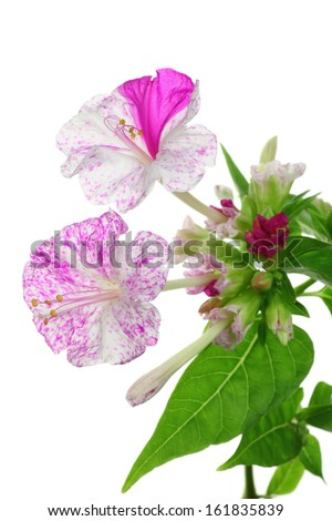 Four-O'Clock Flowers in bloom isolated on white - stock photo