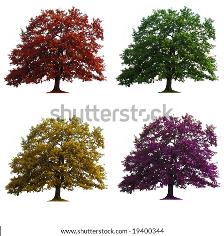 four oak trees in seasons colors isolated over white - stock photo