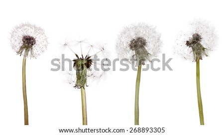 four old dandelions isolated on white background
