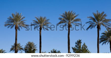 Four palm trees growing in a row in the bright sunshine of a warm location