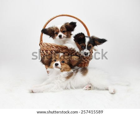 Four Papillon puppies in the basket,on white  - stock photo