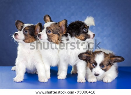 Four Papillon Puppies on a blue background - stock photo