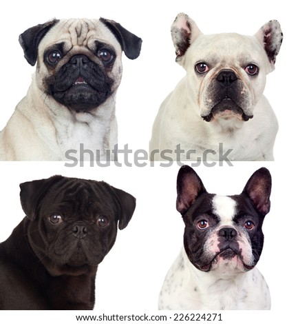 Four portraits pug dogs isolated on white background - stock photo