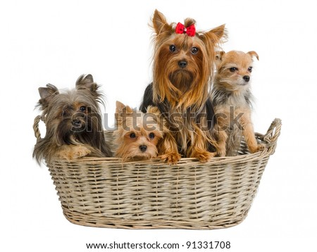 Four puppies in a basket - tree yorkshire terriers and chihuahua