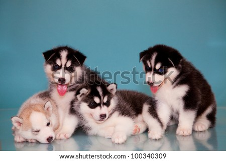 four puppies of husky on a blue background. - stock photo