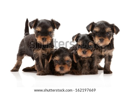 Four puppies of the Yorkshire Terrier on white background - stock photo