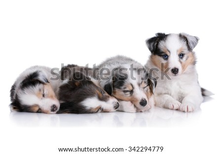 Four puppies on a white background