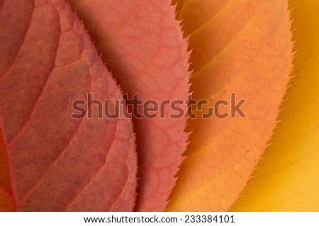four red orange yellow autumn leaves  - stock photo