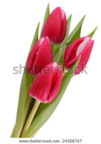 Four red tulips isolated on a white background. - stock photo