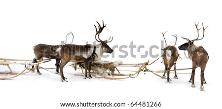 Four reindeers stand to harnesses in winter.