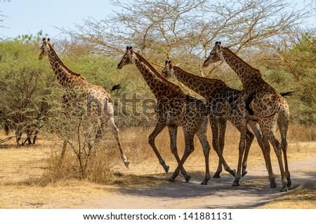 Four running giraffes - stock photo