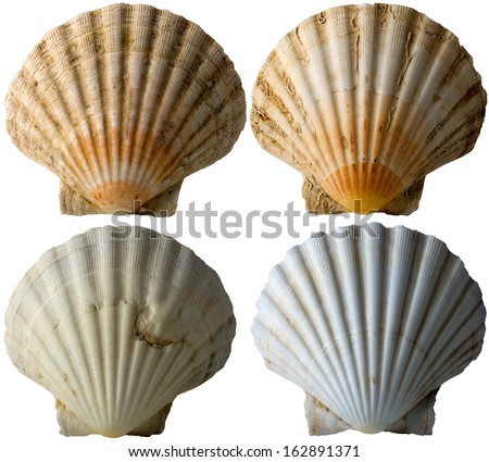 Four Scallop Shells - See Pectinidae - 3 / Set of four scallop seashells isolated on white background - stock photo