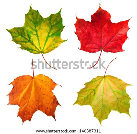 Four seasonal maple leafs isolated on the white background - stock photo