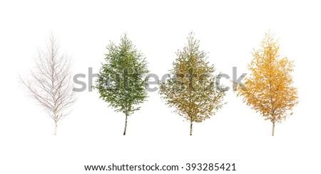 Four seasons. Isolated on white birch - stock photo