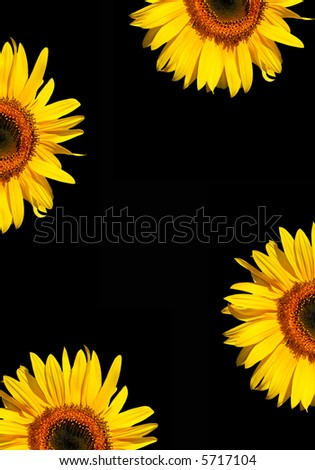 Four sections of sunflower flowerheads in full bloom against a black background. - stock photo