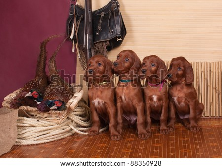Four setters puppies sitting pheasants, horizontal