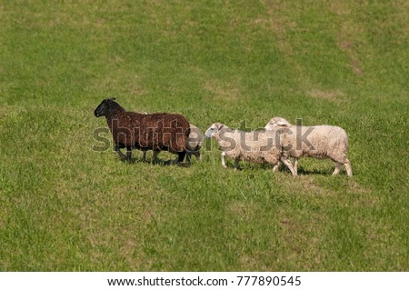 Four Sheep (Ovis aries) Walk Sedately Left - at sheep dog herding trials