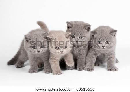 Four small british kittens on white background - stock photo