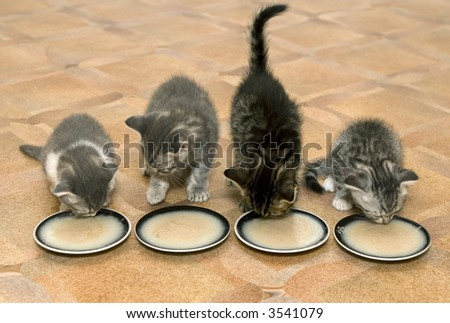 Four small kittens eat a milk porridge - stock photo