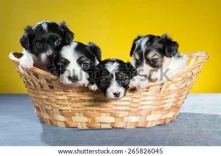 Four small papillon puppy in a basket on a yellow background - stock photo