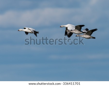 Four Snow Geese Flying in Fall on Blue Sky - stock photo