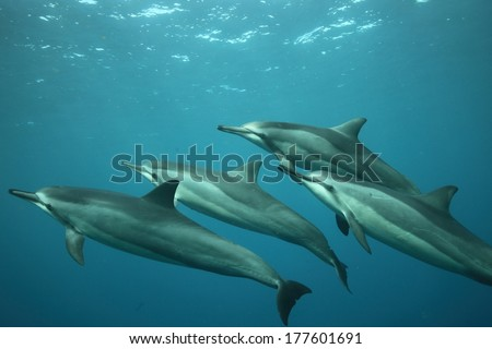 Four spinner dolphins, Stenella longirostris, swimming in formation. - stock photo