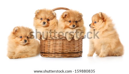 Four spitz puppies in a basket. Isolated over white. - stock photo