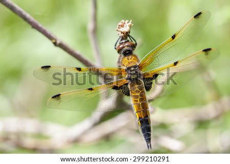 Four-spotted Chaser - macro - stock photo