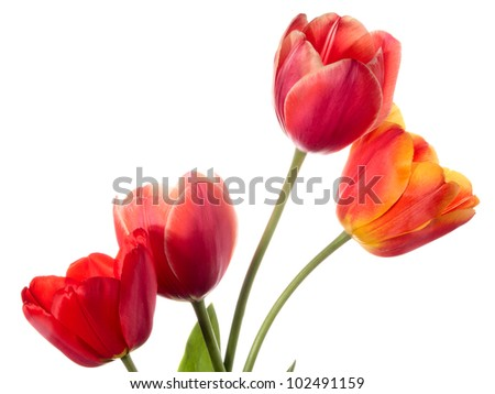 Four spring flowers. Tulips isolated on white
